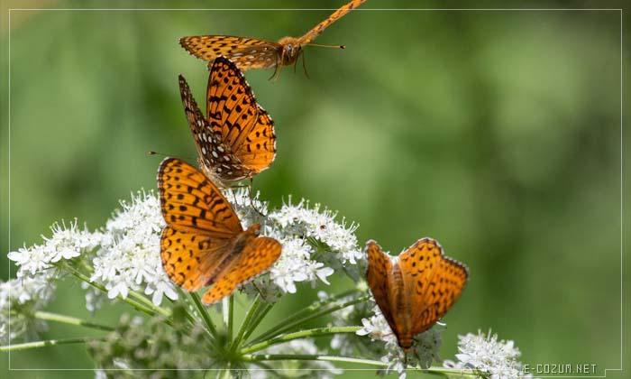 Dört kelebek